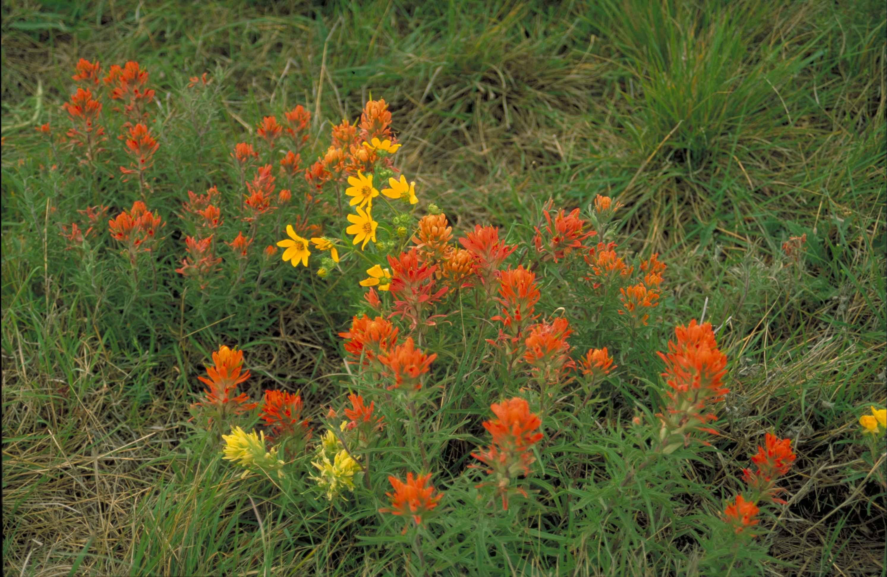 Free Picture Yellow Orange Prairie Paintbrush Flowers