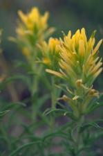 jaune, prairie, pinceau, fleurs, longues, jaune, pétales