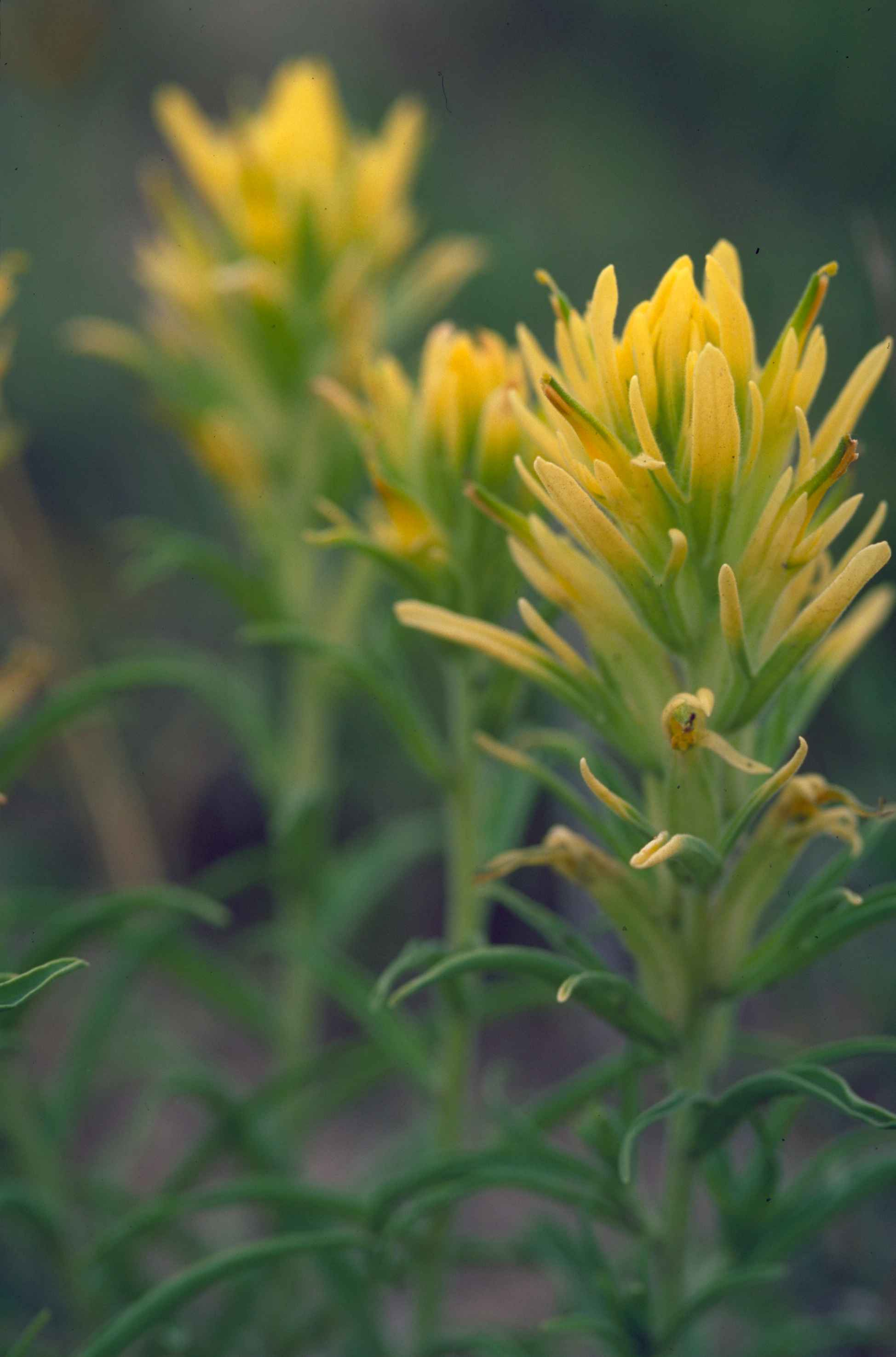 Free Picture Yellow Prairie Paintbrush Flower Long Yellow Petals
