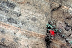zion, paintbrush, plant, castilleja, scabrida, growing, rock