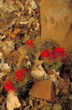 paintbrush, plant, castilleja scabrida, red leaf, flowers, rocks, leaves
