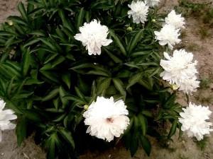 beau, pivoine, fleurs blanches