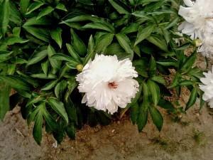 grand, blanc, pivoine, fleur, photo