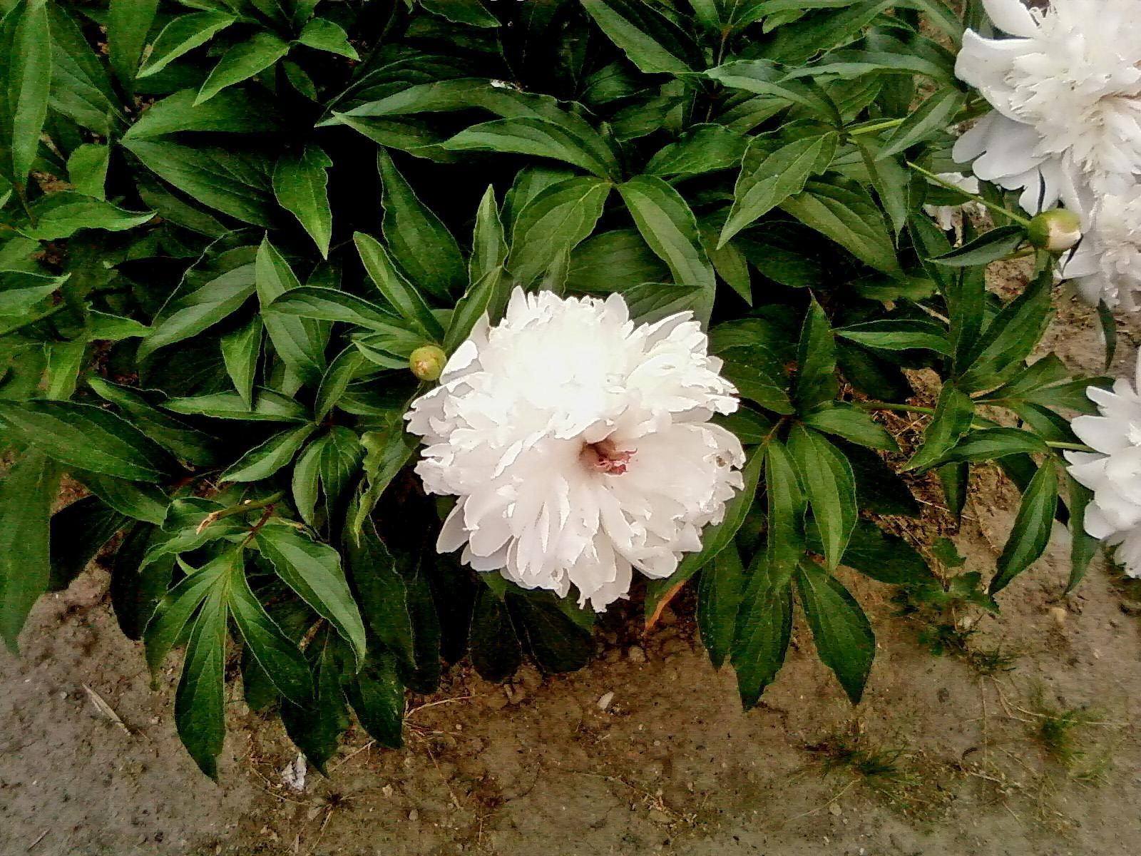 Free Picture Big White Peony Flower Photo