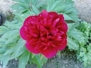 punainen, peony, kukka