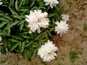 blanc, pivoine, fleur