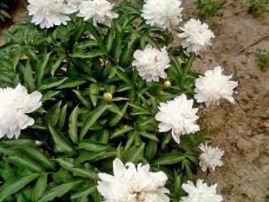 blanc, pivoine, fleurs