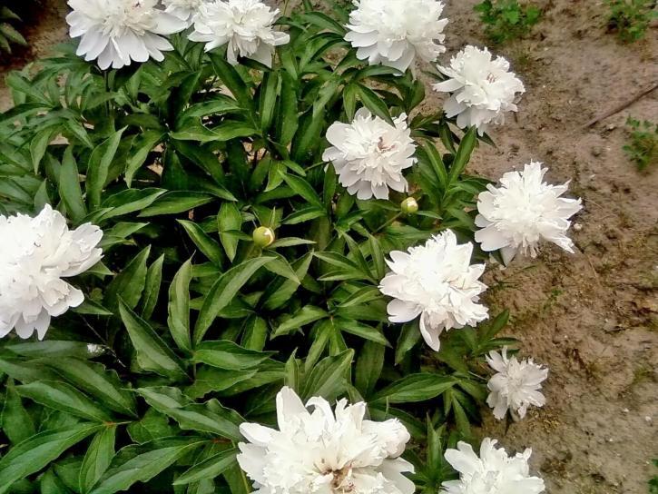 bijeli božur, cvijeće