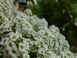 perspective, tiny, white flowers