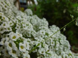 перспектива, малки, бели цветя