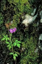 pourpre, phacélie, fleur, l'eau, chute