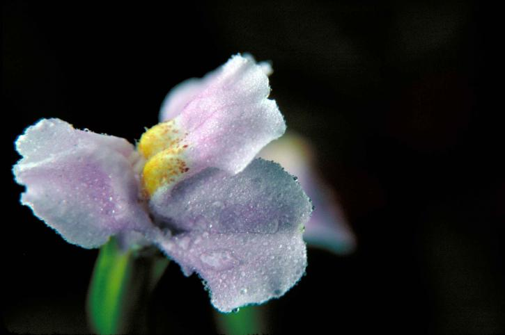 picture, small, blue, winged, monkey, flower, mimulus, alatus
