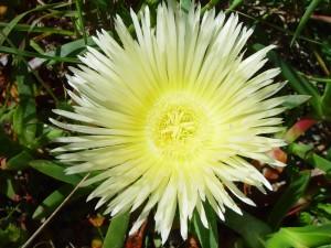 pigface, flower