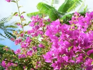 розово, Буш, цветя