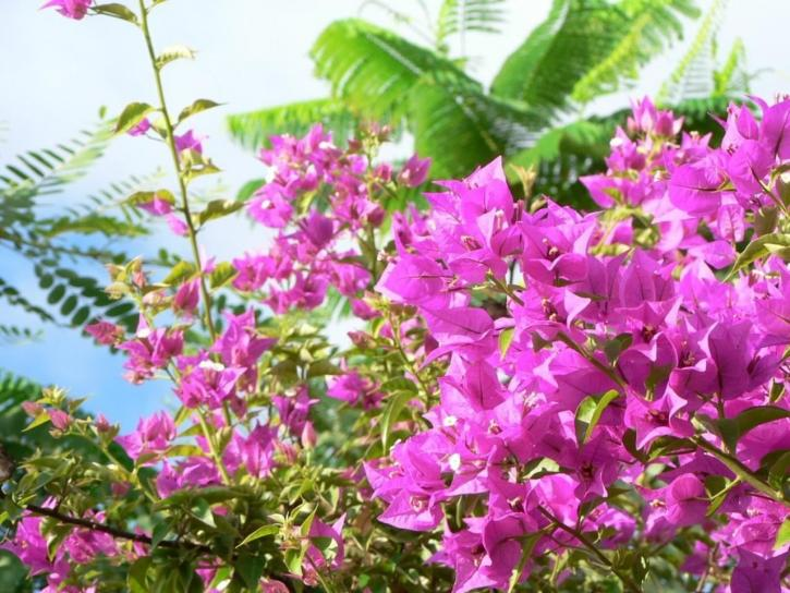 vaaleanpunainen, bush, kukat