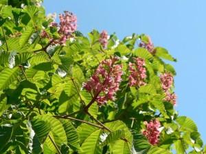 rosa, castaños, árboles, flores