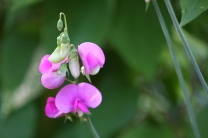 vaaleanpunainen kukka kukassa