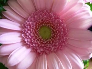 fleur rose, de près, grand, fleur