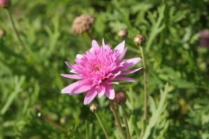 pink flower, green, background