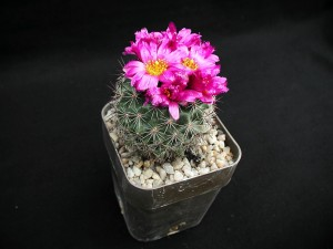 pink flower, cactus, plant