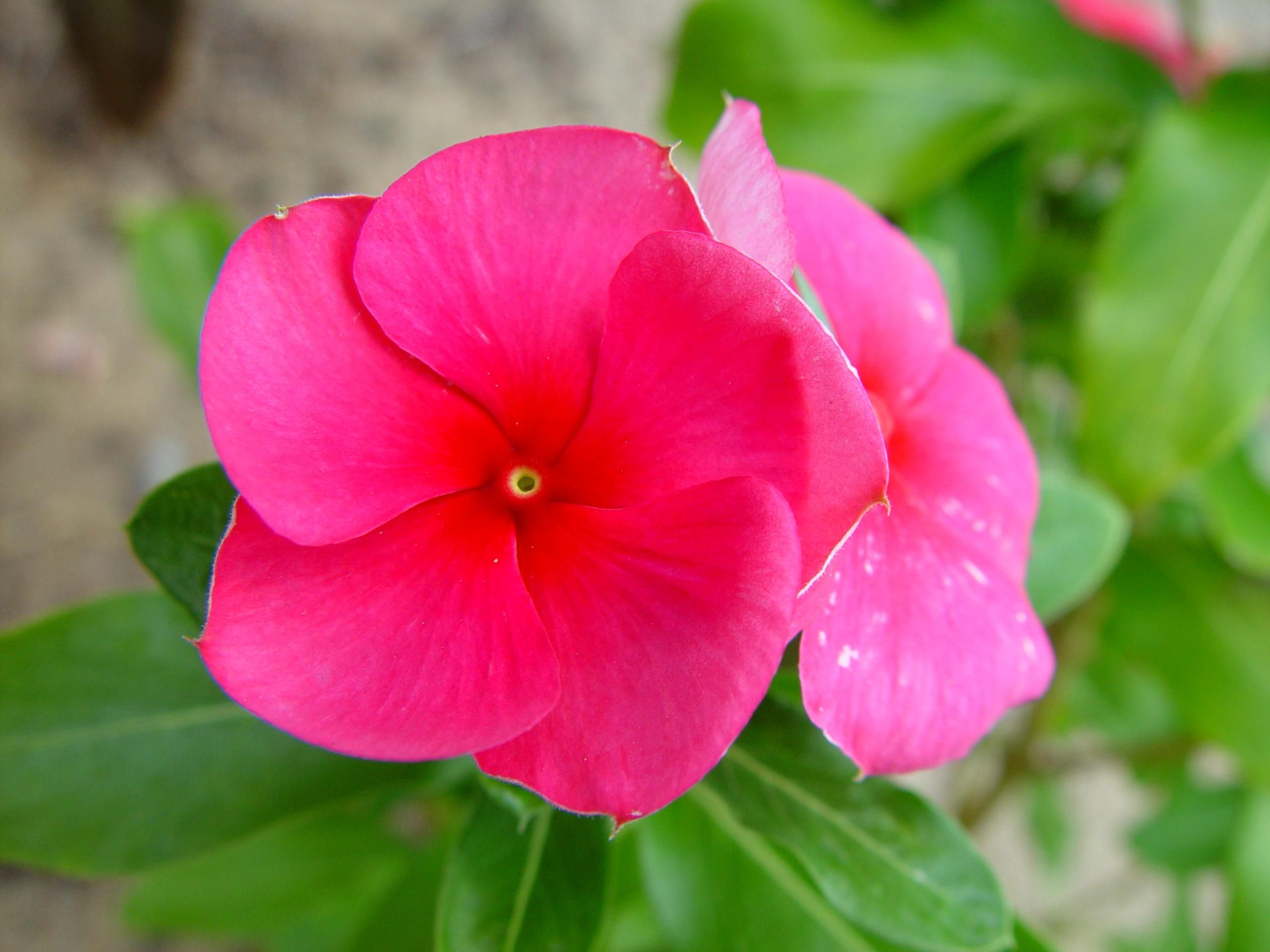 Free picture pink flower pink flower mightylinksfo Gallery