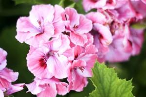 fleurs roses, hortensias, fleurs