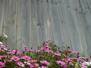 pink flowers, grey, fence