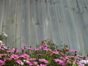 fleurs roses, gris, clôture