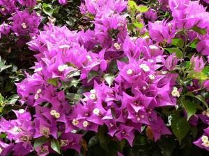 różowe kwiaty, krzew