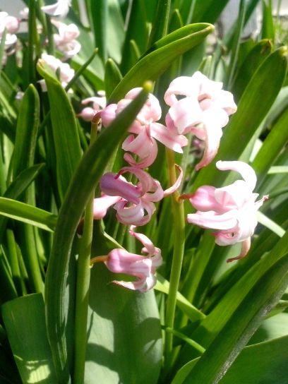 pink flowers, grass, wildness, flowers