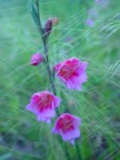 pink flowers, watsonia, grass