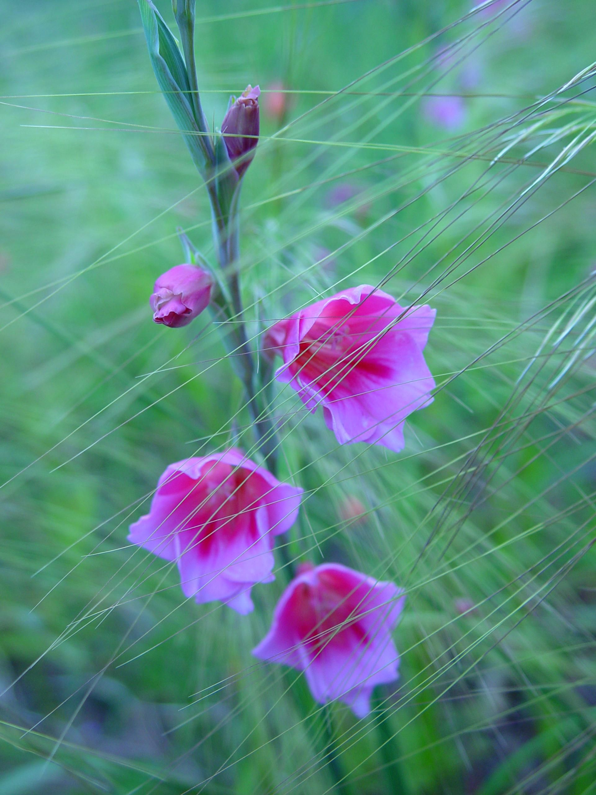 Free Picture Pink Flowers Watsonia Grass