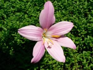 부시, 꽃, 정원, 핑크