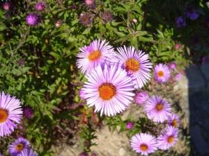 flores no jardim, rosa,