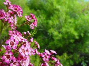 pink, geraldton, flower