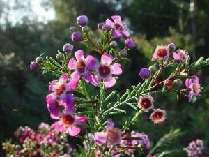 rose, Geraldton, la lumière du soleil