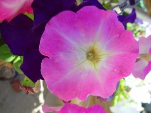 pink, glory, dark, purple flowers, background