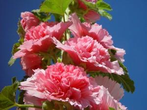 rose, roses trémières, atteignent, ciel