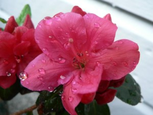 roze, Japans, rhododendron, azalea en japonicum