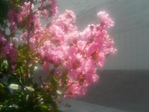 rose, lagerstroemia, crape, myrte, fleurs, soleil