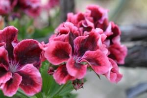 핑크, 산, 꽃
