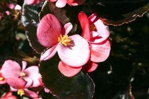 rosa, flores púrpuras