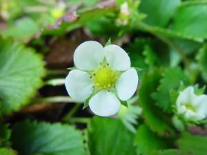 kwiat roślin, truskawka,