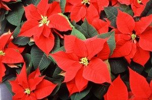 poinsettias, flowers, details