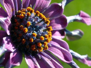pollen, flowers