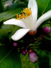 pollinated, flower