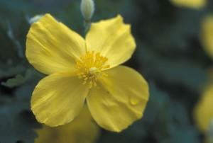 celandine, poppy, flower, stylophorum, diphyllum