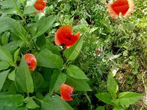 up-close, red, wild, poppy, flowers