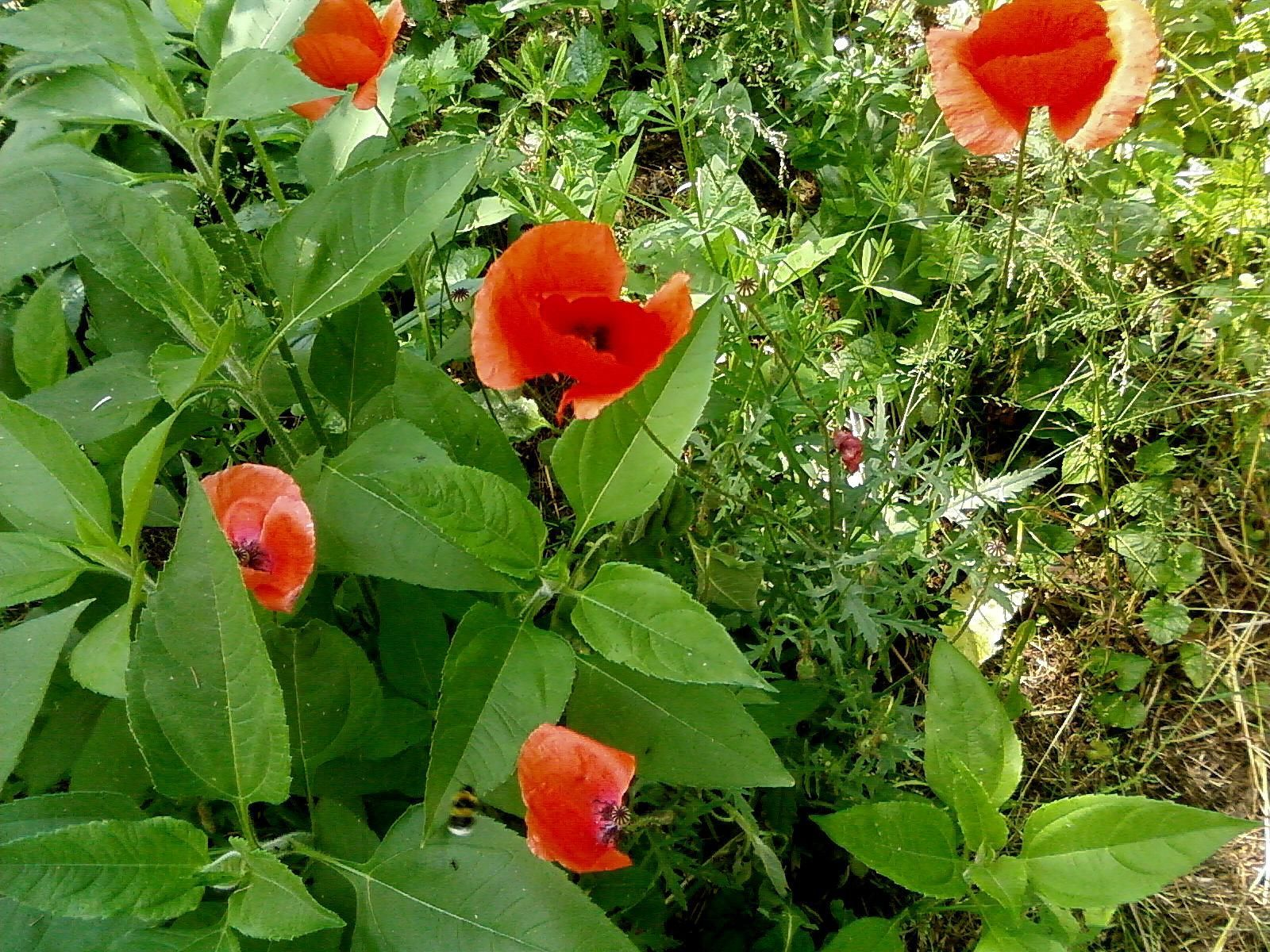 Free Picture Up Close Red Wild Poppy Flowers