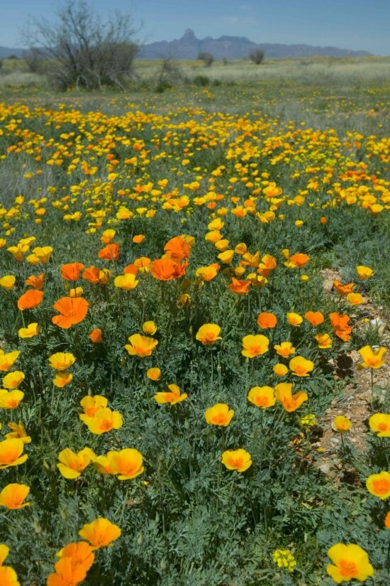 field, flowers, mexican, poppies